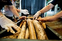 Airline Industry in South Africa and Vietnam Increase Efforts to Stop Wildlife Trafficking