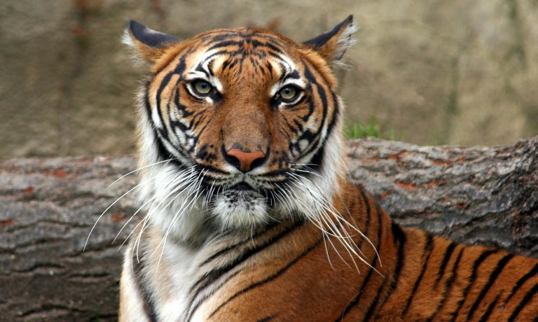 Indochinese_Tiger_8.9.2012_Hero_and_Circle_MID_243238.jpg